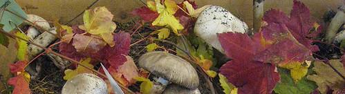 Wild Mushroom Show