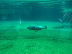 Harbor seal (melastmohican) Tags: sur sand cute mammal water monterey ocean california big elephant wildlife grey seal sea animal life outdoors beach nature coast marine san wrocław województwodolnośląskie poland pl