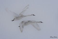 Cygne tuberculé Cygnus olor - Mute Swan (Thierry Badan) Tags: oiseuxnaturesauvage cygne tuberculé cygnus olor mute swan