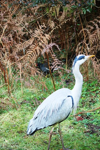 Grey Heron with Moorhen in background