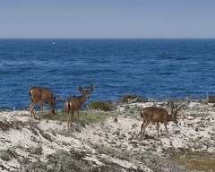 Young bucks (Tom Clifton) Tags: california pacificgrove blacktaileddeer