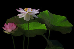 Lotus Flower -IMG_0469-1-800 (Bahman Farzad) Tags: flower macro yoga peace lotus relaxing peaceful meditation therapy lotusflower lotuspetal lotuspetals lotusflowerpetals lotusflowerpetal