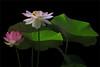 Lotus Flower -IMG_0469-1-800 (Bahman Farzad) Tags: flower macro yoga peace lotus relaxing peaceful meditation therapy lotusflower lotuspetal lotuspetals lotusflowerpetals lotusflowerpetal