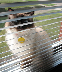 Silly Kitty (~ Liberty Images) Tags: silly cute window cat canon furry kitten feline soft blueeyes kitty kittens powershot blinds peek peeking gatti beloved remington birman a630 moggie remmy catsandwindows muchbeloved bestofcats