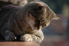 13-10-07 019 Què passa aquí abaix?  / What's going on down? (visol) Tags: cat gata chatte mixa tickedtabby bestofcats