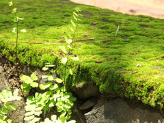 Moss and Ferns (Thaha) Tags: green moss ferns
