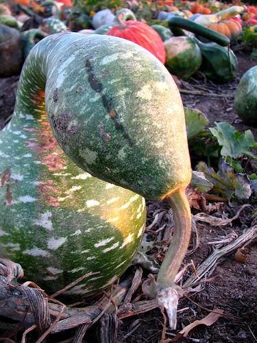 Snakey Gourd