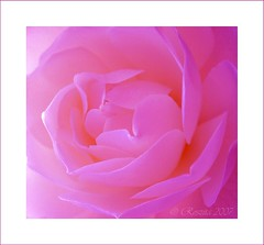 Beauty Within A Rose (Roszita) Tags: pink flower macro rose closeup petals soe excellence takeabow 10faves passionphotography mywinners abigfave platinumphoto excellanceinfloralphotography envyofflickr scarletrose77 flickrslegend everydayissunday godlstaraward