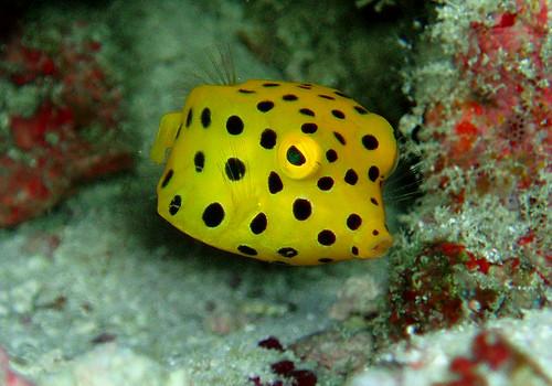 Baby box fish