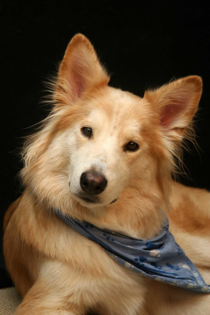 collie husky mix (Jan 01 2013 05:25:58) ~ Picture Gallery