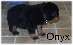 onyx3 (muslovedogs) Tags: dogs puppy rottweiler teaara zeusoffspring