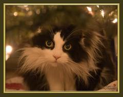 Christmas Boy (Kadacat (Marlene)) Tags: christmas pets cat feline scratch blueribbonwinner canon30d supershot bestofcats platinumphoto impressedbeauty theunforgettablepictures thechallengegame challengegamewinner kadacat exquisiteimage