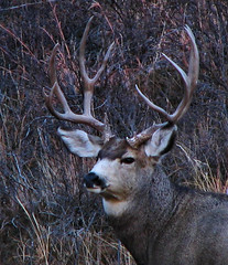 Big Mule Deer Buck Portrait (ronjbaer) Tags: wild portrait nature look looking head deer antlers rack nd badlands buck muledeer mule rut medora