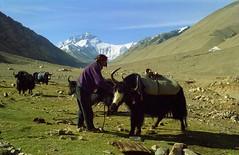 our yaks get a rest day Rhongbuk Mount Everest ,Jomo Langma (reurinkjan) Tags: 2002 nature nikon tibet yaks everest mounteverest rongbuk tingri jomolangma tibetanlandscape janreurink rhongbuk བོད། བོད་ལྗོངས།