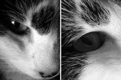 the black and white cat (nicouze) Tags: bw white black macro eye cat chat noir double nb oeil blanc