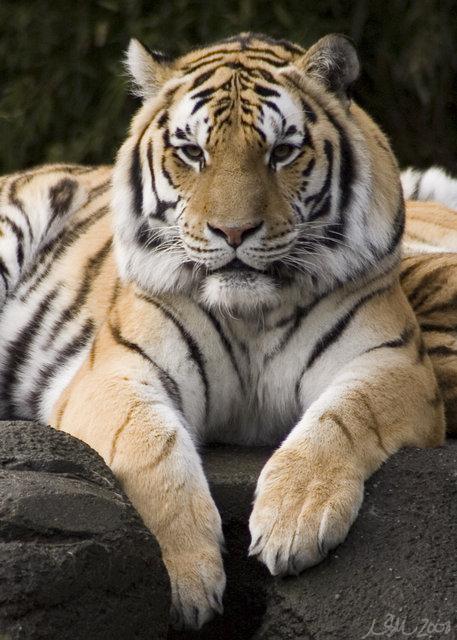 A Tiger's Glare