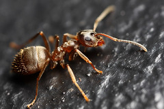 Lonely lost ant (Lord V) Tags: macro bug insect ant lasiusniger