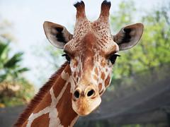 Model: giraffe
