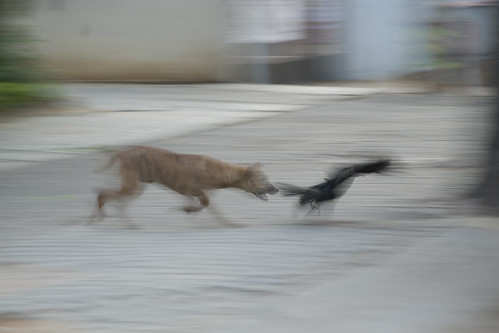 Dog chases crow