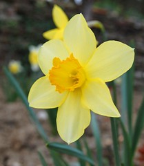 Yellow daffodil (Monica Arellano-Ongpin) Tags: flower primavera fleur yellow jaune spring couleurs flor colores amarillo daffodil blume printemps farben galb fior frling giunchiglia