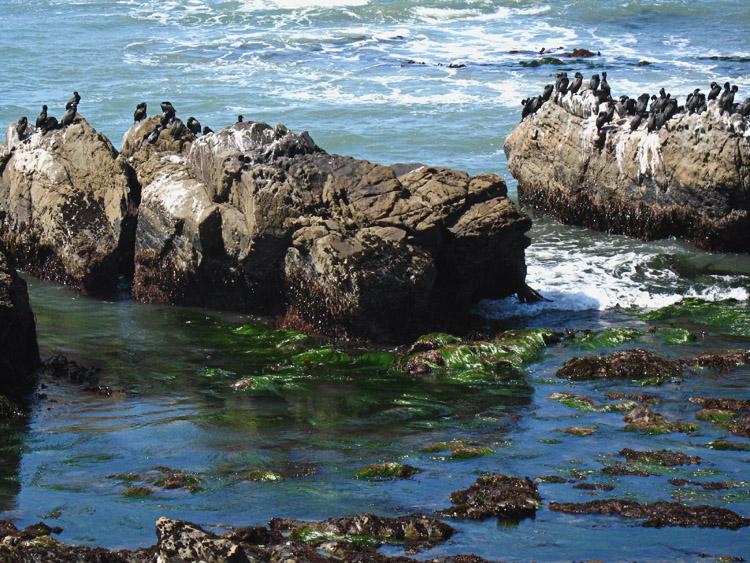 cormorants on rock at cambria coast