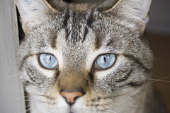 Chat 1 (malboskunk) Tags: animal chat yeux bleu 75300 400d