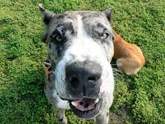 No zoom, just a gentle Great Dane (Lollie Dot Com) Tags: dog major great greatdane dane lolliedotcompix impressedbeauty p1360722c