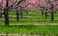 orchard rows (Muffet) Tags: spring blossoms orchard carlsons harvardma