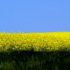 Skyline (Anne*) Tags: blue sky abstract green nature field yellow skyline jaune landscape crossing view belgium belgique o merci expression horizon belgi vert minimal line bleu explore ciel difference online abstraction yves paysage parallel 2008 vue ya champ regards ligne alignment complicit gday correspondance alignement wallonie colza croisement diffrence complementarity specificity outstandingshots parallle clefdeschamps sensibilities enligne croise bientt align complmentarit similitudes lignedhorizon commonproject projetcommun projectonline projetenligne spcificit sensibilits ministract annedhuart