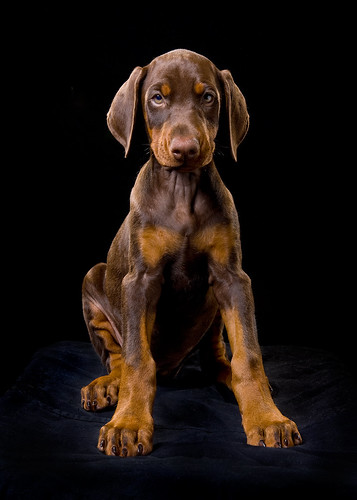 Red Doberman Puppy Dog