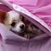 チワワ:Chihuahua_28