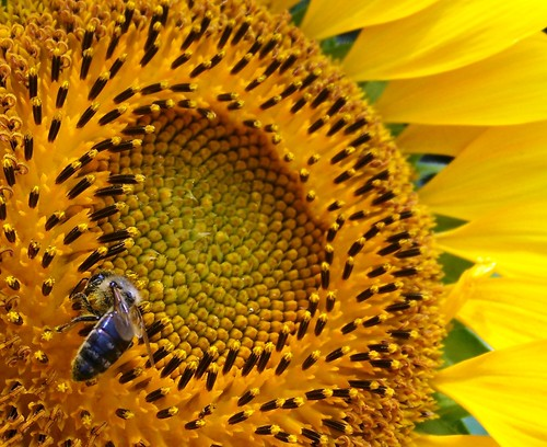 Sunflower & bee close-up