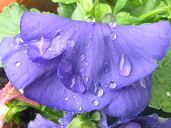 Pansy Rain Drops 002 (Chrisser) Tags: flowers ontario canada nature garden spring searchthebest gardening fourseasons closeups pansies violaceae olympuscamediac765 flowerswithrainorwaterdrops