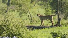 Cheetah (artabracelta) Tags: cheetah guepardo cat africa sudafrica southafrica kruger safari summer verano viaje travel satara skukuza naturaleza nature animal nikon d5100 teleobjetivo tamron 70300