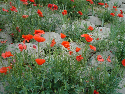 May poppies par Monica Arellano-Ongpin
