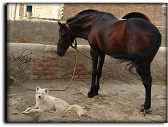 Hay Friend H r u ????? (Saking--Little Busy) Tags: friends horse dog dancing soe waitting saqib supershot saking platinumphoto anawesomeshot theunforgettablepictures concordians kingloi stealthkingdom stunningwisdom