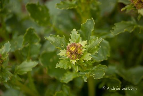 Common winter cress (yellow rocket) (Barbarea vulgaris)-1-1.jpg