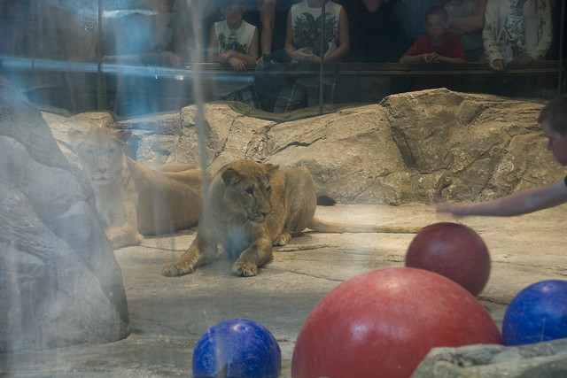 D4 MGM lions 4