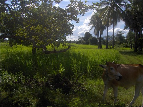 Cambodian Cow
