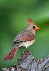 Lady Cardinal (janruss) Tags: bird birds cardinal ngc npc defenders cardinaliscardinalis northerncardinal specanimal avianexcellence goldstaraward janruss genuscardinalis janinerussell coth5 artistoftheyearlevel3 artistoftheyearlevel4 artistoftheyearlevel5 artistoftheyearlevel7 artistoftheyearlevel6