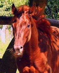 Hollywood Sug O'Lena (forestsoul) Tags: horses pets animals slovenia stallion quarterhorse loh amazingamateur horsesrule forestsoul