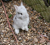 20 days old hello silver (The Shabby Bunny) Tags: old baby cute rabbit bunny bunnies lionhead 20days