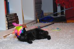 Minerva 17.JPG (IlkkaL) Tags: minerva koti eläimet kissat