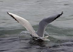 Splash! (Carlo Columba) Tags: sea italy ilovenature mare seagull sicily palermo gabbiani sicilia mondello