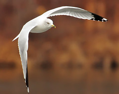 Gull Banking (ozoni11) Tags: seagulls lake bird nature birds animal animals interestingness nikon bokeh seagull gull gulls lakes maryland explore wetlands wetland 337 d300 centenniallake supershot interestingness337 i500 specanimal michaeloberman explore337 ozoni11 nikond300