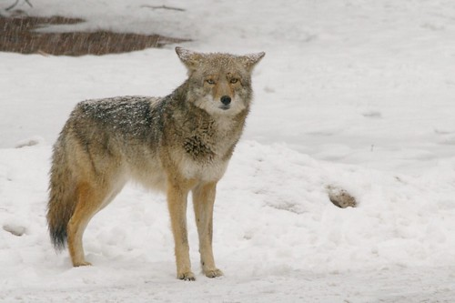 Yosemite N.P. - Coyote in the snow