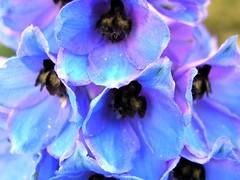 Aston Rowant, Oxfordshire (Oxfordshire Churches) Tags: uk flowers england macro unitedkingdom olympus delphinium macroflowers johnward