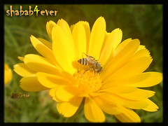 Bee (Yousif ALmulla) Tags: