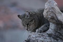 Febrer 2008 004 (visol) Tags: cat gata chatte mixa