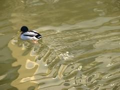 enten (nadinek) Tags: salzburg water reflections austria duck sterreich wasser ente spiegelungen glan